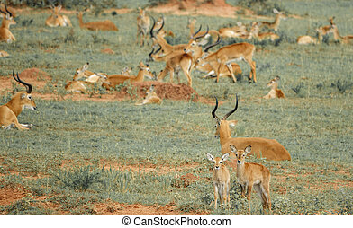 Young impala antelopes in the ground - Long shot of young...