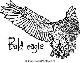 bald eagle - vector illustration sketch hand drawn with black lines, isolated on white background