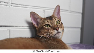 young abyssinian cat lying on bed, 4k photo