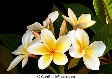 Frangipani (plumeria), with black background