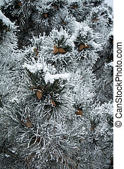 Blue pine branches with cones covered with frost.