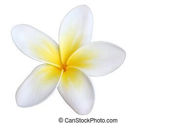 Frangipani, Isolated - A single beautiful frangipani...