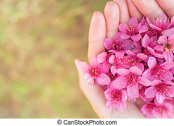 Wild Himalayan Cherry flowers on woman hands - Close up...