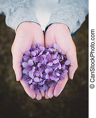 Wild Himalayan Cherry flowers on woman hands - Top view and...