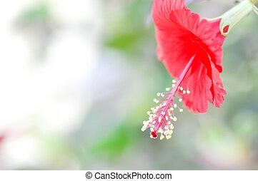 Hibiscus rosa-sinensis or hibiscus - Hibiscus rosa-sinensis...