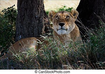 Lioness in an acacia shade. The lioness lies on an acacia...