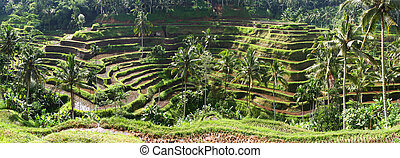 Bali Rice Terraces - Bali rice terraces, in early morning...
