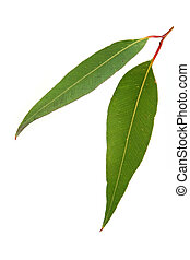 Gum Leaves on White - Gum leaves on white background