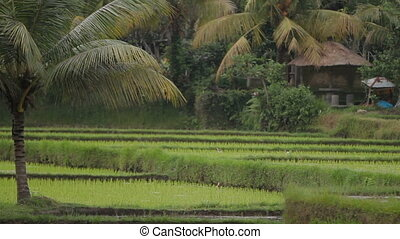 Herons walk through the rice fields. Bali, Indonesia.