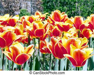 Toronto garden orange tulip flowers 2013 - Orange tulip...