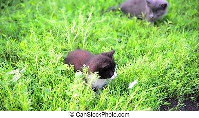 Two kitten in grass in summer - Two kitten in the grass in...