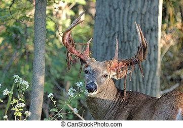 Whitetail Deer Buck - A whitetail deer buck shedding velvet...