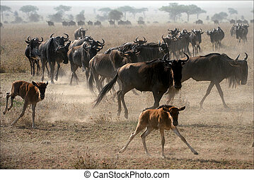 Migration - The herd of migrating antelopes goes on dusty...