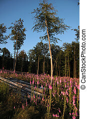 Foxglove plants in a forest clearing in the Taunus