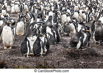 Gentoo Penguin Colony