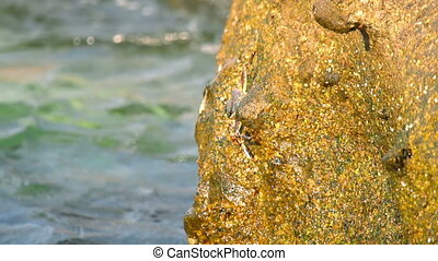 Crabs and rockskippers on the rock at the beach - Crabs on...