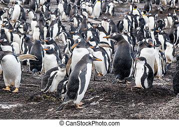 Gentoo Penguin Colony - Gentoo Penguin - Pygoscelis papua...