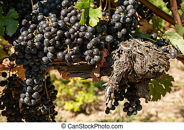 Bunch of grapes and trunk of the vine
