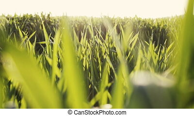 Fresh Green Spring Grass Lawn in Morning, Close up Vibrant Natural Season Background with Shallow Depth of Field,