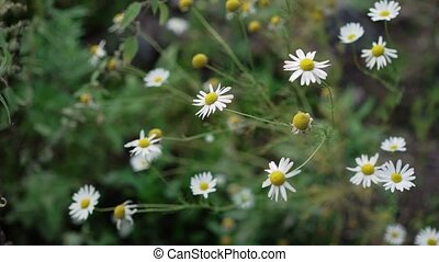 Chamomile flowers outdoors at cloudy day