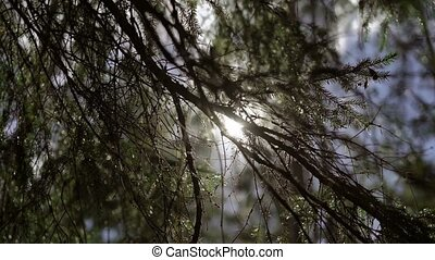 Sunlight through fir tree in forest