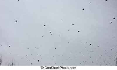 birds circling in the sky, a flock of crows. birds crown
