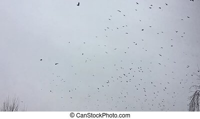 birds circling in the sky, a flock of crows. the birds crown...