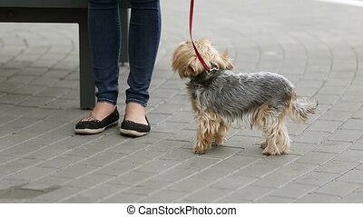 Woman walking with dog tied on a leash at the street