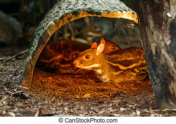 Chevrotains, also known as mouse-deer, in special aviary.