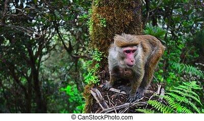 Toque macaque in jungle - Wild toque macaque or Macaca...