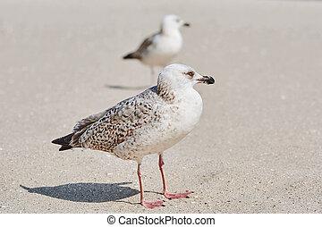 Gulls Birdlings on the Sand - Gulls Birdlings Resting on the...