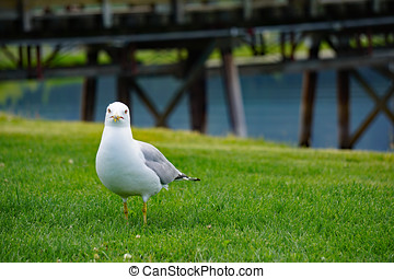 Inquisitive Seagull
