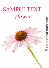 Close up of a pink flower isolated on white