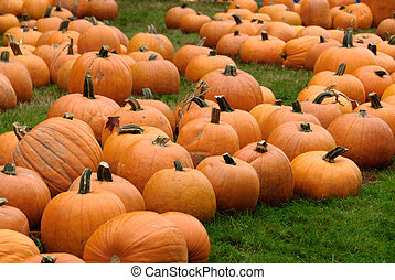 Pumpkin Patch - Freshly harvested pumpkins at a pumpkin...