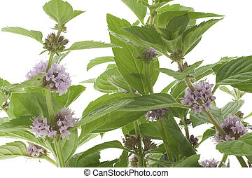 mint - Studio Shot of Lilac Colored Mint Isolated on White...