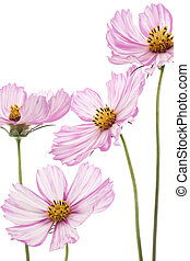 cosmos - Studio Shot of Purple and White Colored Cosmos...