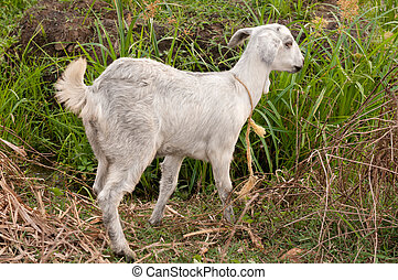 Goat - A solitary goat on a leash at a meadow