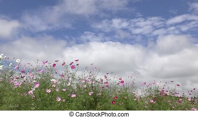 Lined pink cosmos flowers under flowing clouds