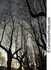 Leafless trees winter - Sunset viewing of an avenue of bare...