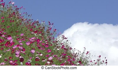 Cosmos flower with cloud - Pink cosmos flower field under...
