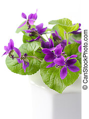 Violets - Lovely violets in a white vase. Close-up view,...