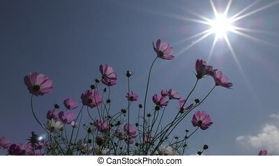 Cosmos flower and sun - Pink cosmos flowers under sky with...