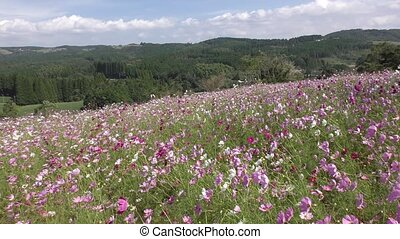 Cosmos flower field - Hilltop paved pink cosmos flower field...