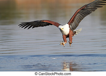 Fish Eagle hunting - Fish eagle attempting to catch a fish...