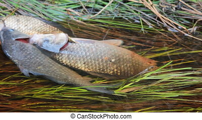 Fresh fish and old ways of its preservation 6. Prussian carp...
