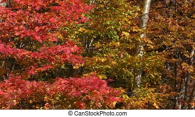 Autumn red maple leaves - Autumn red fullmoon maple...