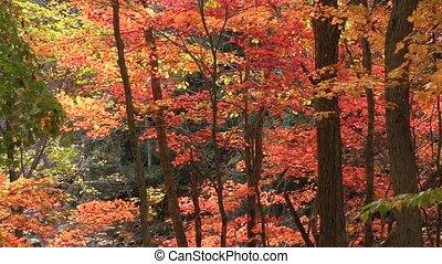 Autumn maple tree - Autumn fullmoon maple tree and falling...
