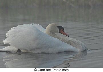 Mute Swan. Large white water bird. Floating on the lake