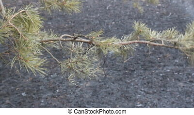 Implications of ground fire in pine woods 1. Forest floor...