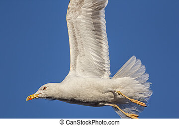 Close-up black-backed seagull in flight with wings up -...